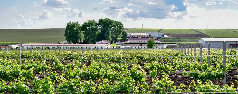 CramaHermeziu-viticultura
